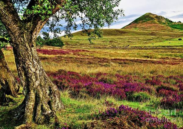 Photograph - Yorkshire Moorland Heather by Martyn Arnold