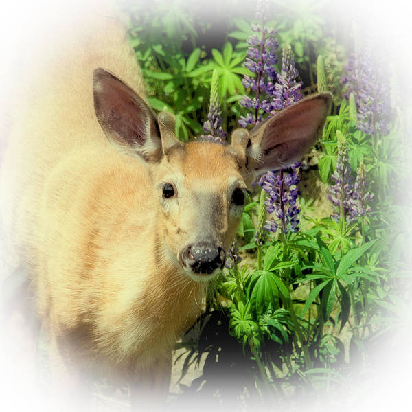 Photograph - Young Buck Among The Lupin by David Patterson