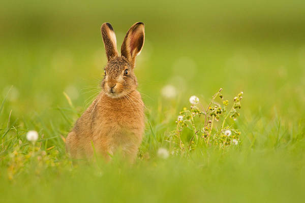 Photograph - Young Hare In Meadow by Simon Litten