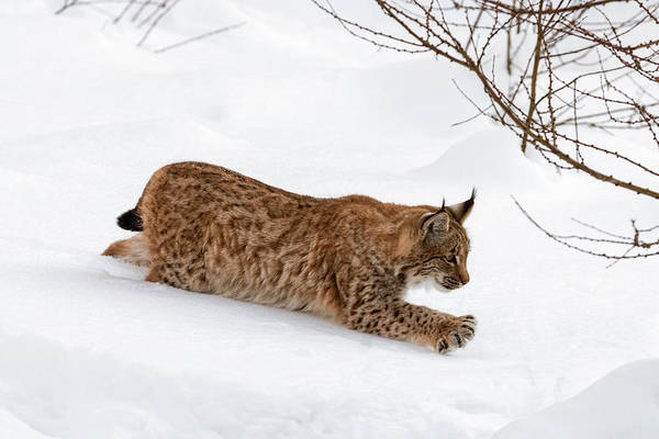 Photograph - Young Lynx In The Snow by Arterra Picture Library