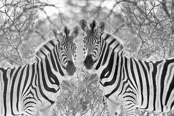 Wall Art - Photograph - Zebra by Paul Fell