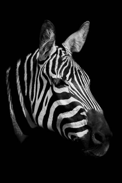 Wall Art - Photograph - Zebra by Paul Neville