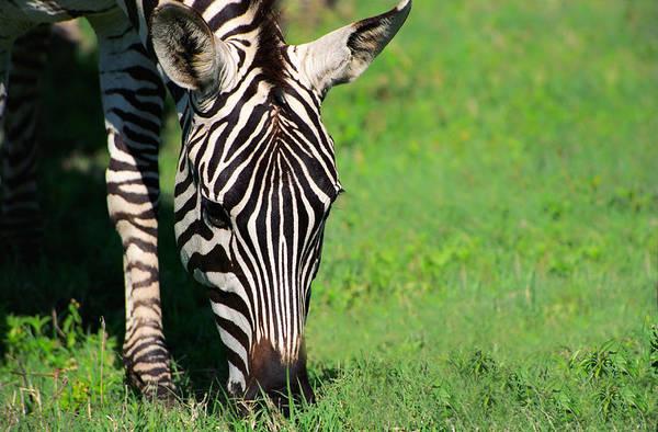 Photograph - Zebra by Sebastian Musial