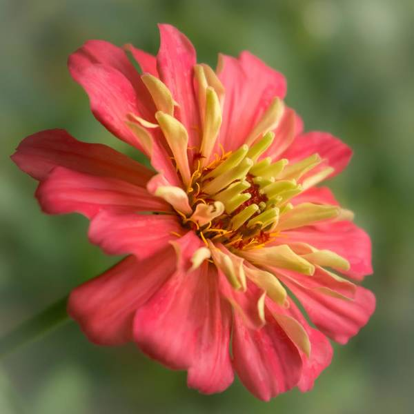 Zinnia Wall Art - Photograph - Zinnia by Jim Hughes