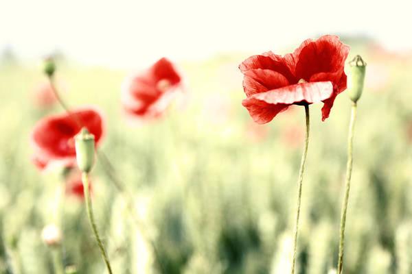 Blume Photograph - Poppies by Falko Follert