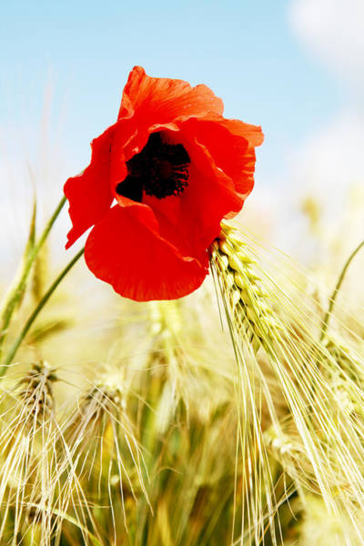 Wall Art - Photograph - Poppy by Falko Follert