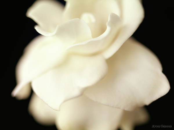 White Rose Photograph - Gardenia by Anne Geddes