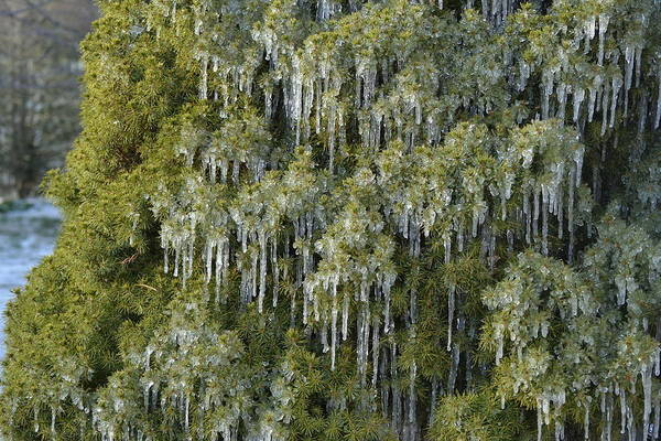 Photograph - 1000 Icicles And A Bush by JD Grimes