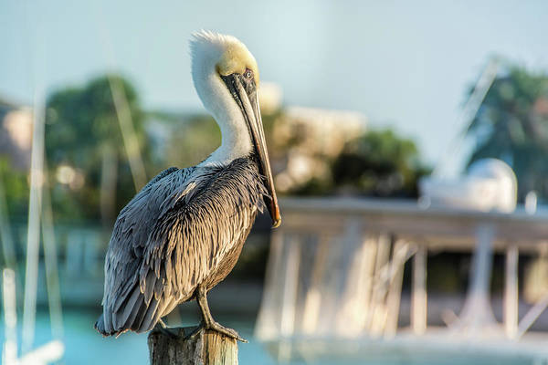 Photograph - 10875 Brown Pelican by Pamela Williams
