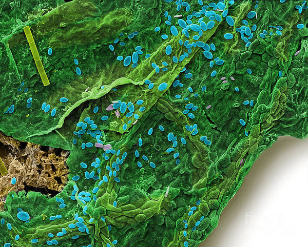 Acer Saccharum Photograph - Diatoms Eating A Maple Leaf by Ted Kinsman