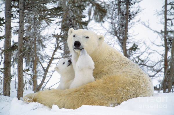 Photograph - Polar Bear With Cubs by M Watson