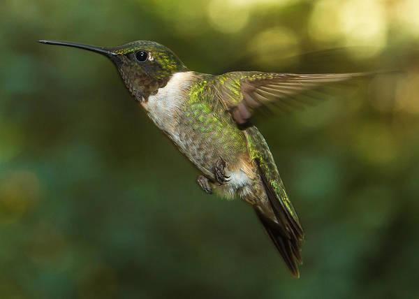 Photograph - Ruby-throated Hummingbird by Robert L Jackson
