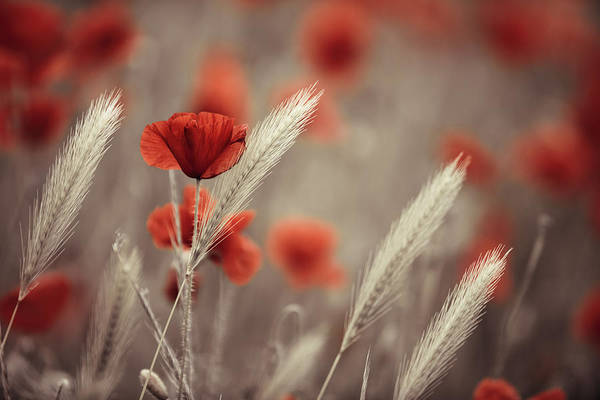 Green Grass Photograph - Summer Poppy Meadow by Nailia Schwarz