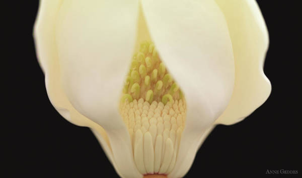 Wall Art - Photograph - Magnolia by Anne Geddes