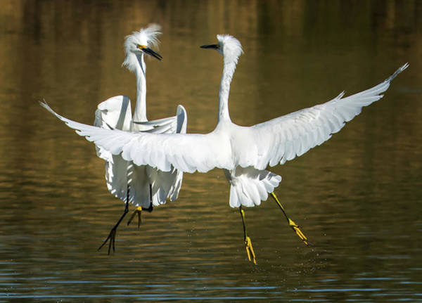 Photograph - $150 - 11x14 Canvas - Snowy Egrets Fight 3638-112317-2cr by Tam Ryan