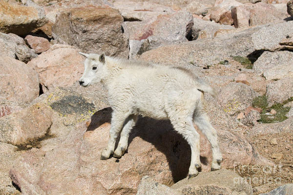 Photograph - Baby Mountain Goats On Mount Evans by Steve Krull