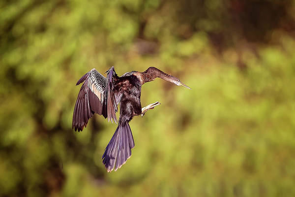 Photograph - Double Crested Cormorant by Peter Lakomy