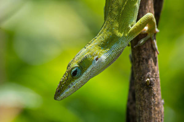 Photograph - Green Lizard by Willard Killough III