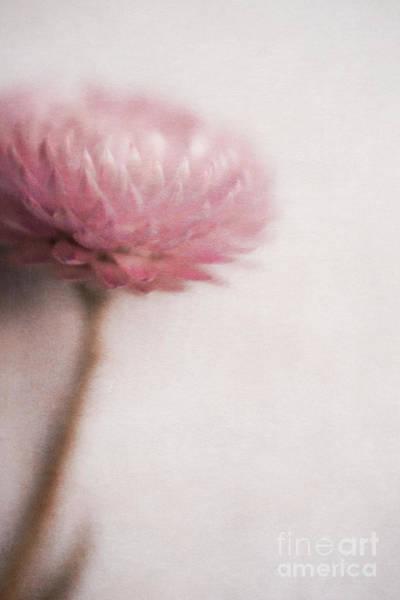 Cornflowers Photograph - Pastel Cornflower 1 by Priska Wettstein