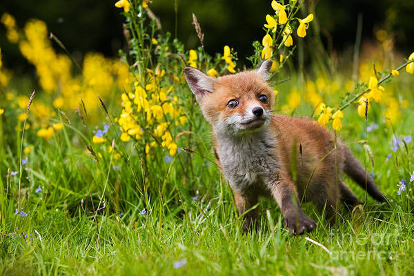 Photograph - Red Fox Vulpes Vulpes by Gerard Lacz