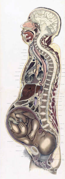 Brain Freeze Photograph - Topographisch-anatomischer, Braune, 1872 by Science Source