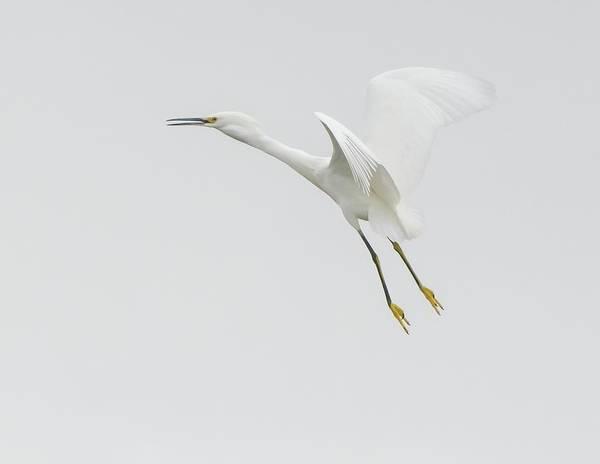 Photograph - $150 - 12x18 Metal - Snowy Egret Flight 020116-8844-1cr by Tam Ryan