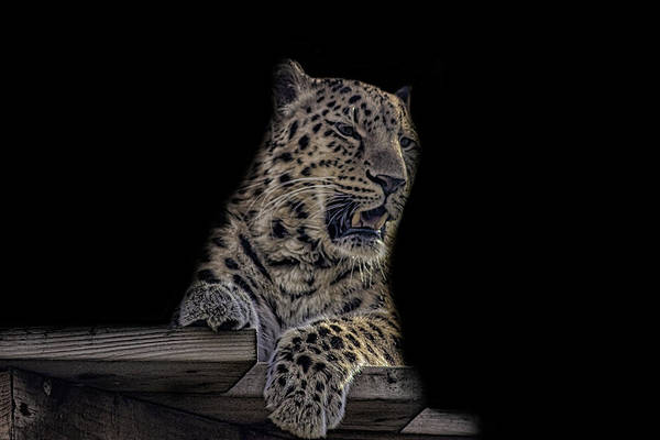 Snow Leopard Wall Art - Photograph - Amur Leopard by Martin Newman