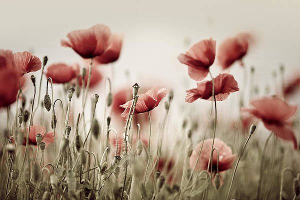 Day Dream Photograph - Poppy Dream by Nailia Schwarz