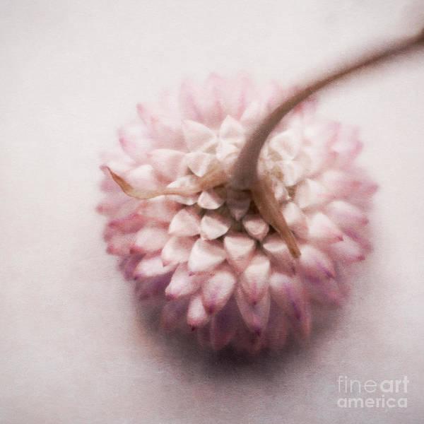 Cornflowers Photograph - Pastel Cornflower 2 by Priska Wettstein
