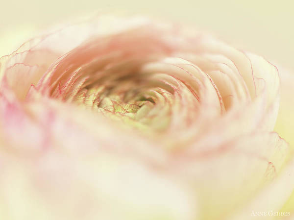 Pink Rose Photograph - Ranunculus In Bloom by Anne Geddes
