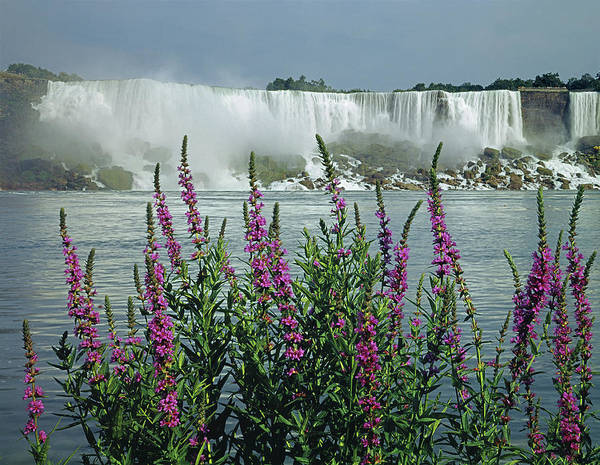 Photograph - 131t18 Niagara Falls With Wildflowers by Ed Cooper Photography