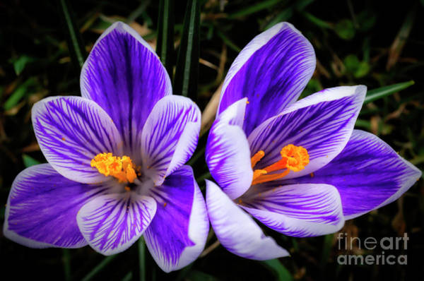 Photograph - Crocus In Bloom by Thomas R Fletcher