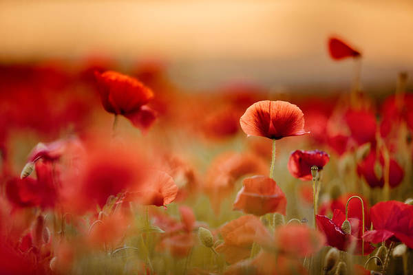 Corn Field Photograph - Poppy Dream by Nailia Schwarz