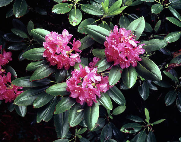 Photograph - 146016 Rhododendron Gsmnp by Ed Cooper Photography