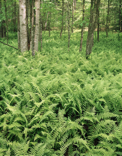 Photograph - 146112 Ferns In Pisgah Nat Forest V by Ed Cooper Photography