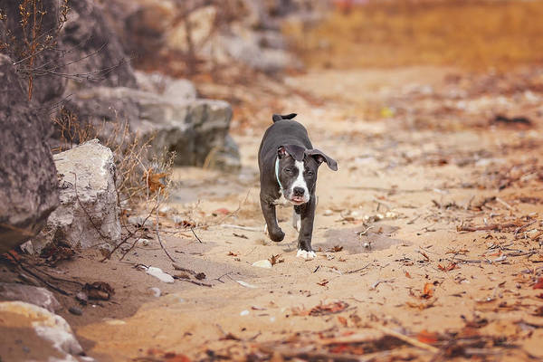 Photograph - American Pitbull  by Peter Lakomy