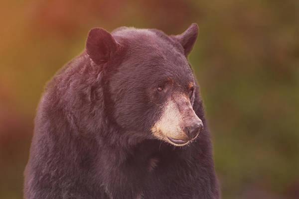 Photograph - Black Bear  by Brian Cross