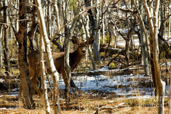 Photograph - Mule Deer In The Pike National Forest by Steve Krull