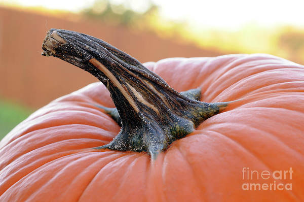 Photograph - Pumpkins by LS Photography