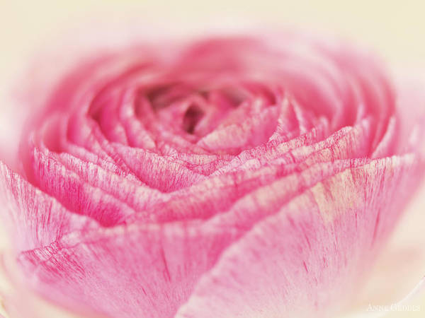 Pink Rose Photograph - Blooming Rose by Anne Geddes