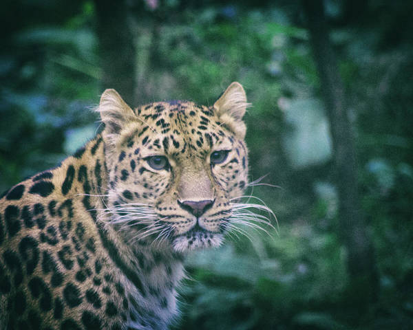 Beauty Spot Photograph - Amur Leopard by Martin Newman