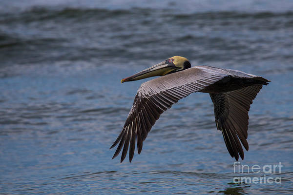 Port St. Joe Photograph - Brown Pelican by Twenty Two North Photography
