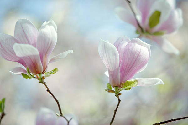 White Rose Photograph - Magnolia Flowers by Nailia Schwarz