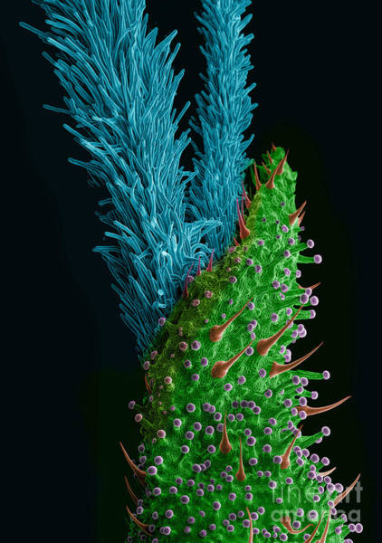 Photograph - Marijuana Female Flower, Sem by Ted Kinsman