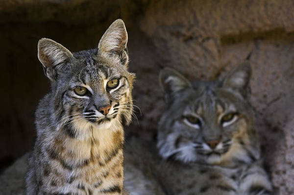 Photograph - Bobcats by Arterra Picture Library