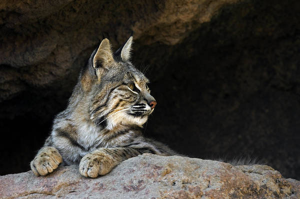 Photograph - Bobcat by Arterra Picture Library