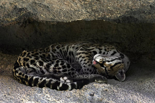 Photograph - Ocelot Sleeping by Arterra Picture Library