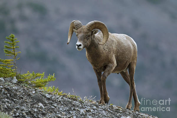 Photograph - Bighorn Sheep by Arterra Picture Library
