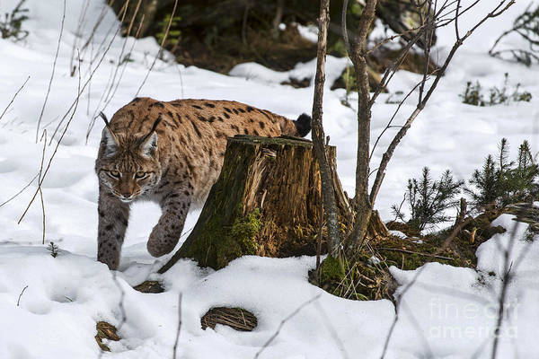 Photograph - Lynx Hunting In Winter by Arterra Picture Library