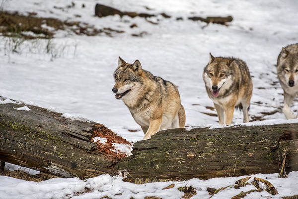 Photograph - Wolf Pack Hunting In The Snow by Arterra Picture Library